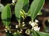 Baygall Holly