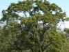 Shin Oak