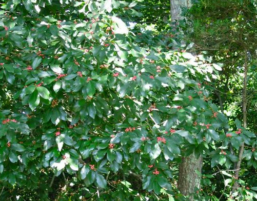 Shrubs For Shade Houston : Plants that do well in some shade and sun houston texas