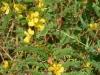 Partridge Pea