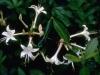 Texas Azalea