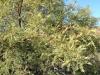 Honey Mesquite